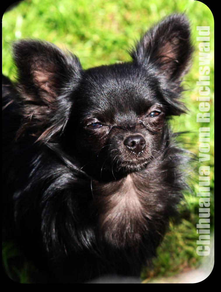 Queso Chihuahua - Wikipedia